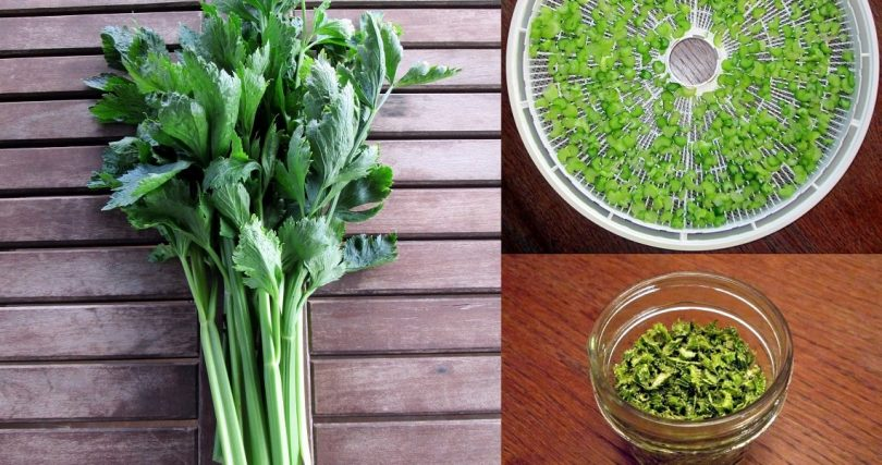 dehydrating celery in the food dehydrator