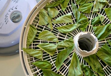 drying basil in dehydrator