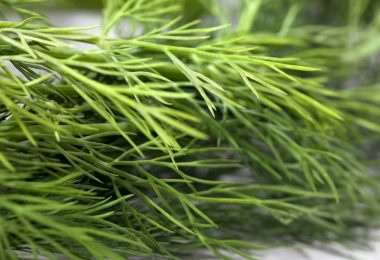 drying dill