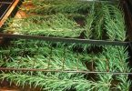 drying rosemary in the oven