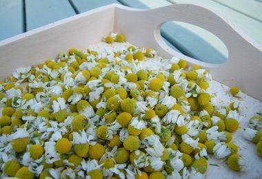 drying chamomile