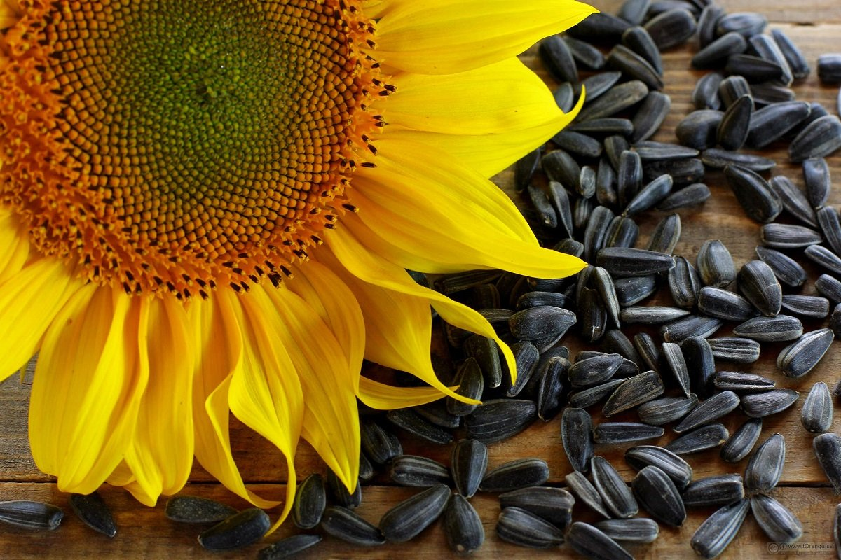 Drying Sunflower Seeds: From Harvest to Storage - DryingAllFoods