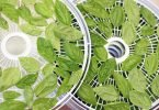 drying fresh basil leaves in a dehydrator
