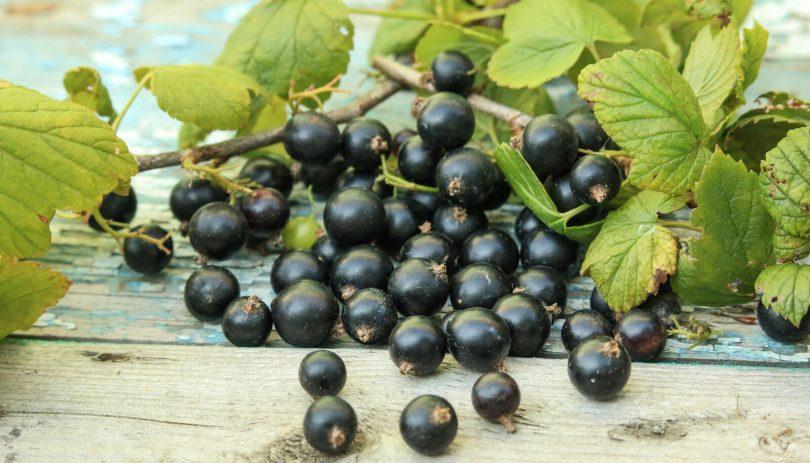 dehydrating blackcurrants