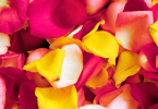 harvest rose petals for drying