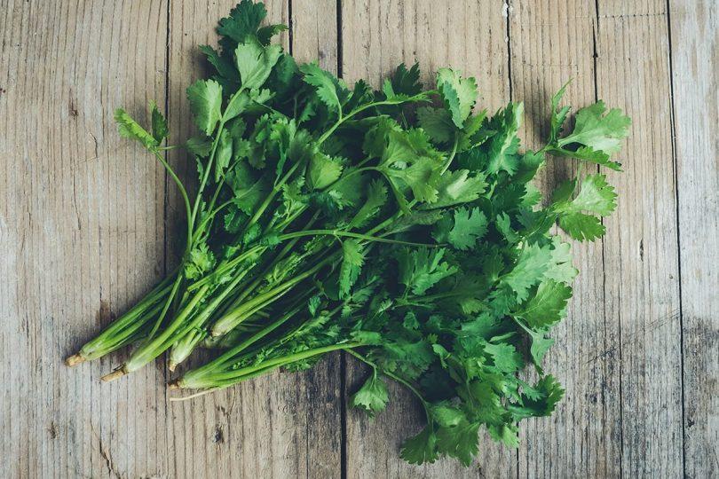 drying coriander cilantro